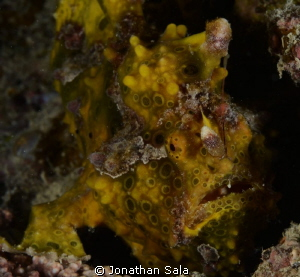 Frog Fish, Yellow/Braun by Jonathan Sala 
